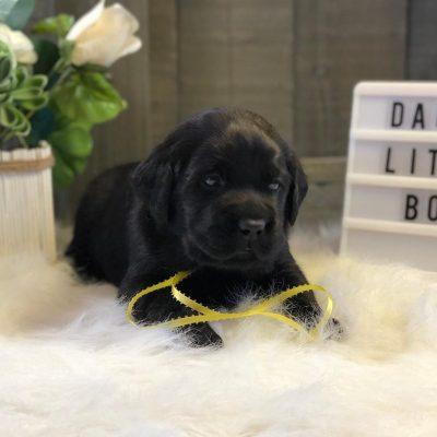 Watson- puppy Labrador Retriever male for sale near Jetersville, Virginia