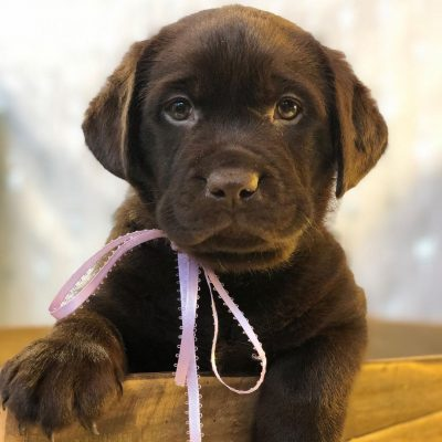 Jedder- Labrador Retriever male pupper for sale at Jetersville, Virginia