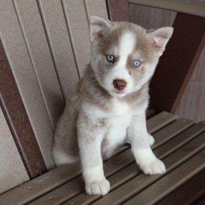 Jasper - male Pomsky pup for sale in Spencerville, Indiana