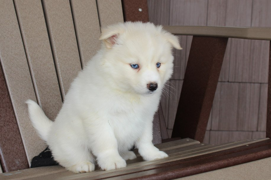 Chloe - Pomsky female puppie for sale near Spencerville, Indiana
