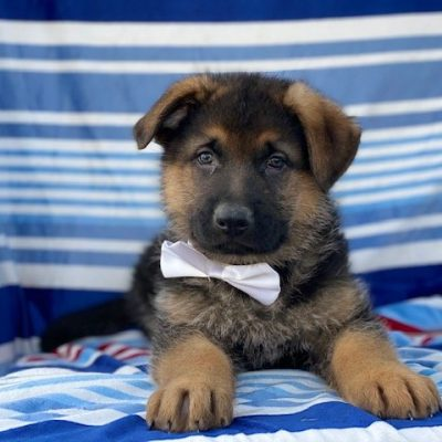 Louie - puppy AKC German Shepherd male for sale at Honeybrook, Pennsylvania