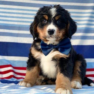 Dante - AKC Bernese Mountain Dog male pupper for sale near Rising Sun, Maryland