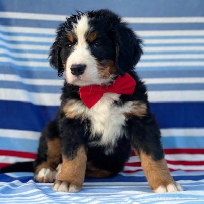 Leo - male AKC Bernese Mountain Dog pup for sale at Rising Sun, Maryland