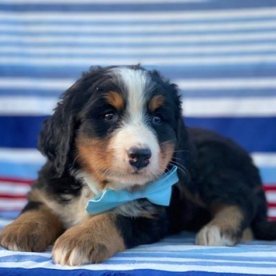 Rambo - AKC Bernese Mountain Dog male puppy for sale in Rising Sun, Maryland