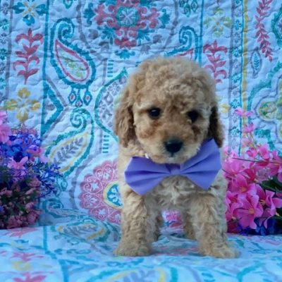 Emmy - female Cavapoo pup for sale in Rising Sun, Maryland