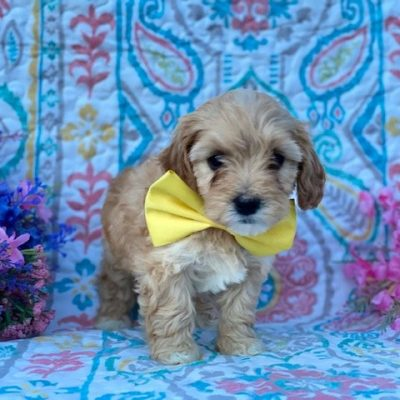 Mitzy - Cavapoo puppie for sale in Rising Sun, Maryland