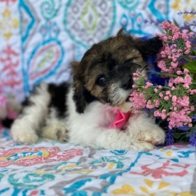 Suzy - F1b Toy/mini Cockapoo female puppie for sale in Rising Sun, Maryland