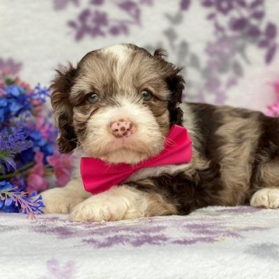 Pebbles - Cockapoo pup for sale at New Holland, Pennsylvania