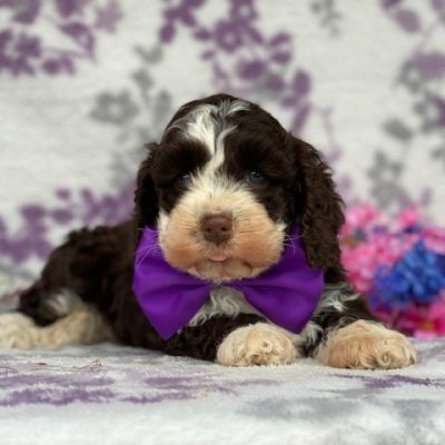 Fawn - Cockapoo puppy for sale in New Holland, Pennsylvania