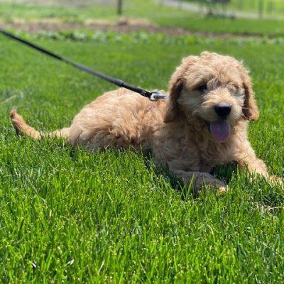 Ralph - puppie Mini Goldendoodle for sale near Christiana, Pennsylvania