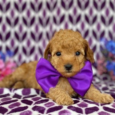 Fifi - Toy Poodle female puppie for sale in Lincoln University, Pennsylvania