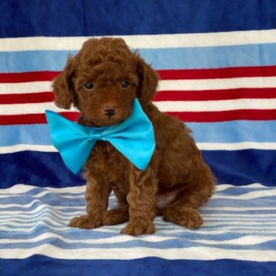 Pierre - Toy Poodle puppy for sale in Lincoln University, Pennsylvania