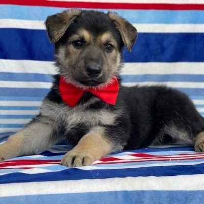 Simon - pup German Shepherd male for sale at Rising Sun, Maryland