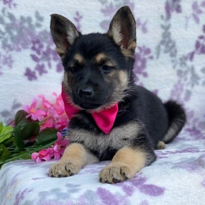 Bianca - German Shepherd female puppie for sale in Rising Sun, Maryland
