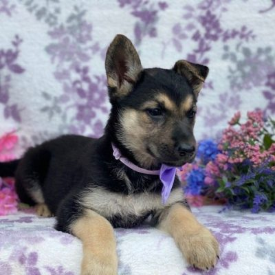 Queen - female German Shepherd doggie for sale at Rising Sun, Maryland