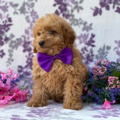 Penny - puppie Mini Goldendoodle for sale Nottingham pa