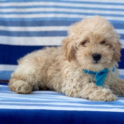 Cody - Mini Goldendoodle pup for sale near Nottingham pa