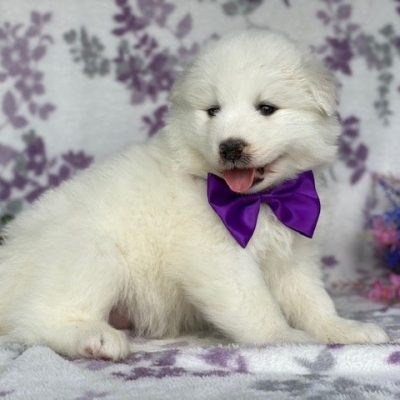 Paisley - puppie Samoyed male for sale at Quarryville, Pennsylvania