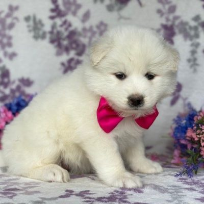 Ostara - Samoyed female pupper for sale in Quarryville, Pennsylvania