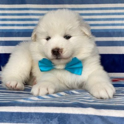 Kash - male Samoyed puppy for sale at Quarryville, Pennsylvania