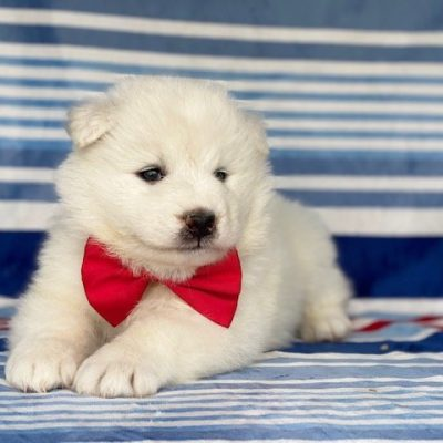 Tango - Samoyed male puppy for sale in Quarryville, Pennsylvania
