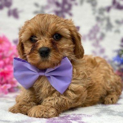 Belle - Cavapoochon female doggie for sale in Peachbottom, Pennsylvania