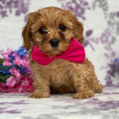 Mindy - puppie Cavapoochon female for sale in Peachbottom, Pennsylvania
