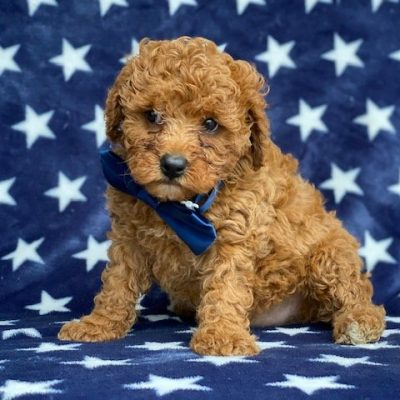 Charlie - Cavapoochon pupper for sale near Peachbottom, Pennsylvania