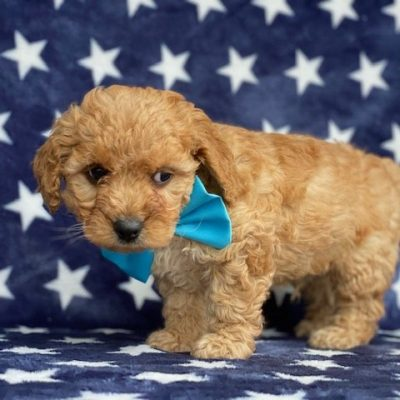Barney - Cavapoochon male puppy for sale in Peachbottom, Pennsylvania