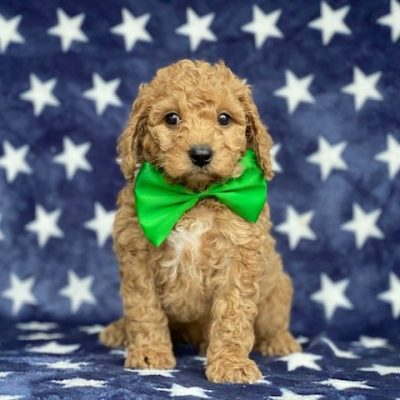 Buddy - Cavapoochon male doggie for sale near Peachbottom, Pennsylvania