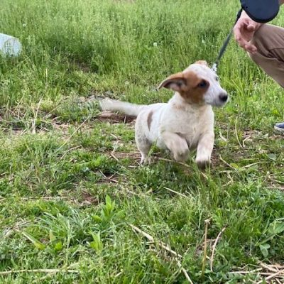 Pongo - Australian cattle dog pupper for sale at Delta, Pennsylvania