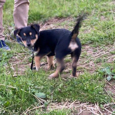 Parker - Border Collie Mix male puppie for sale near Delta, Pennsylvania