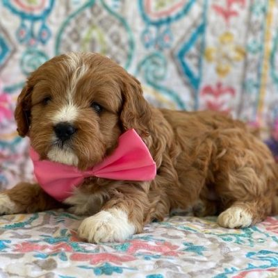 Bianca - Cavapoo female doggie for sale at Peachbottom, Pennsylvania