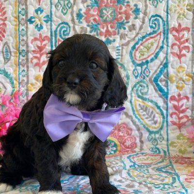Cookie - Cavapoo puppie for sale in Peachbottom, Pennsylvania