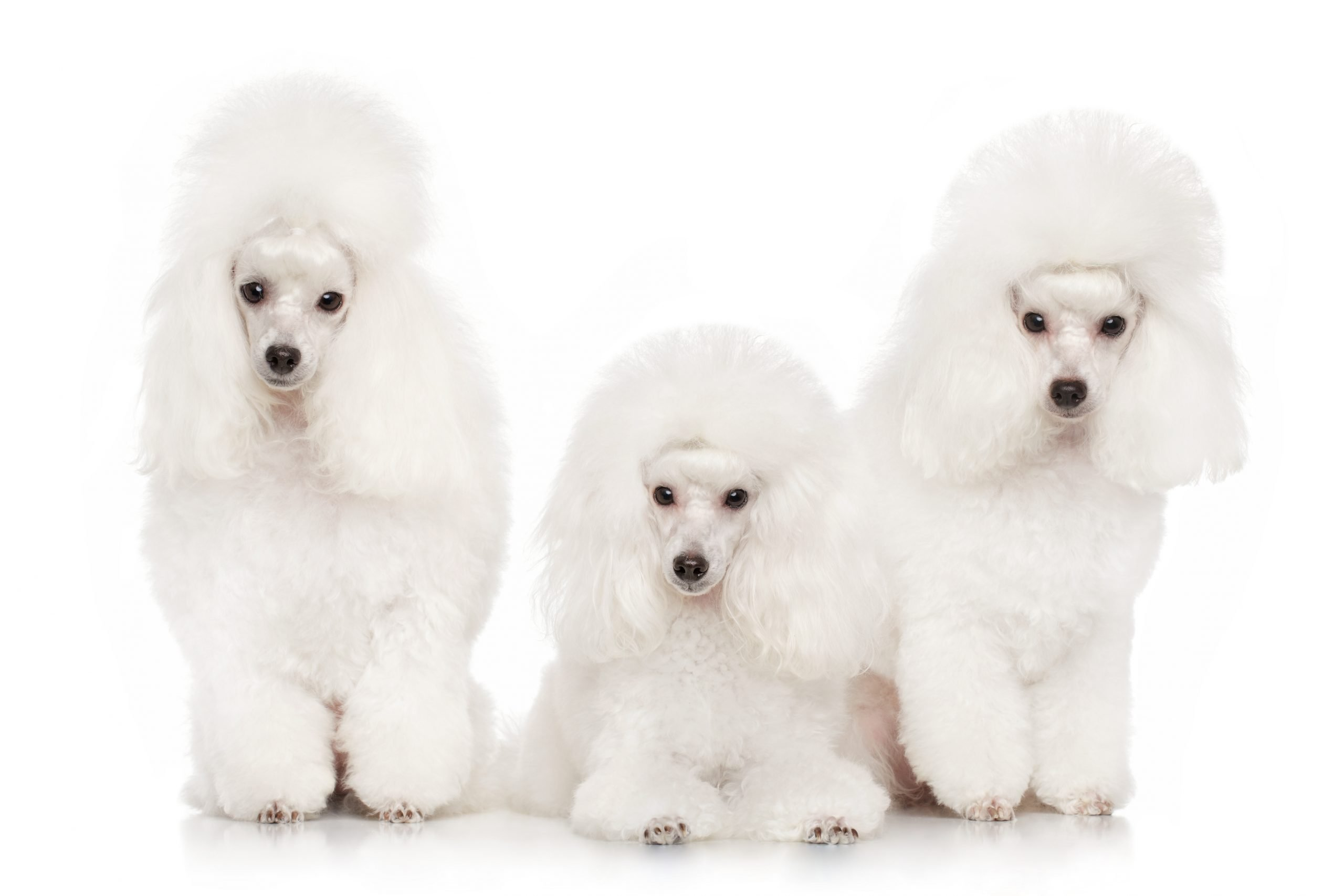 Poodle Breed – Is a Poodle Right for You?