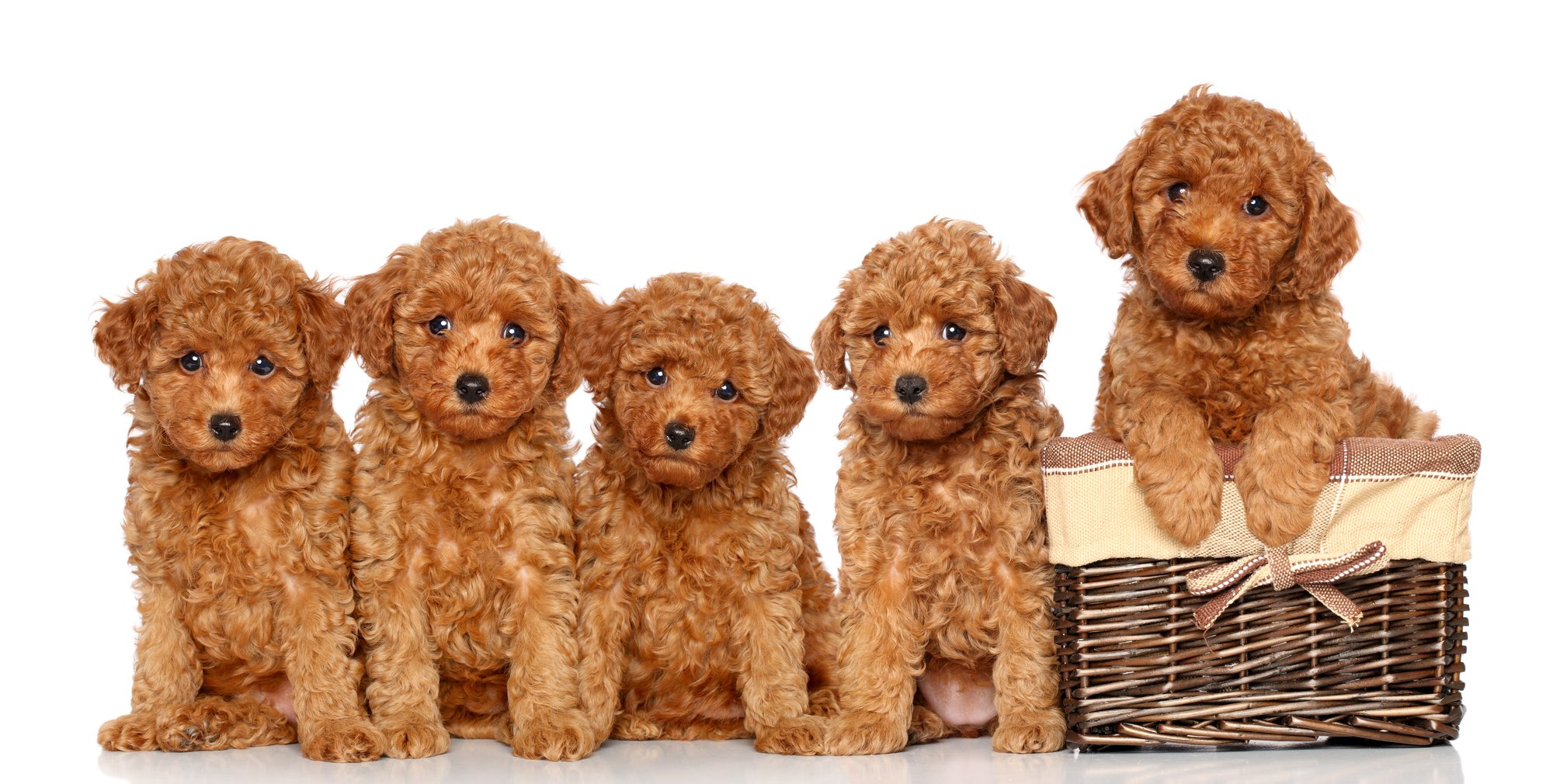 5 poodle puppies with 1 puppy in a basket with a white background