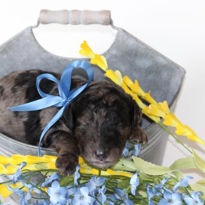 BLUE - F2 male Goldendoodle pup (Ponca City, Oklahoma)