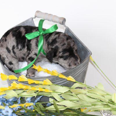 GREEN - *ADOPTION DEPOSIT* - F2 male Goldendoodle pup (Ponca City, Oklahoma)