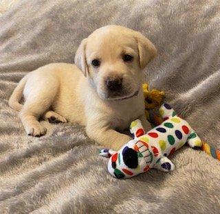 Labrador Retriever puppies for sale in Springfield, Missouri