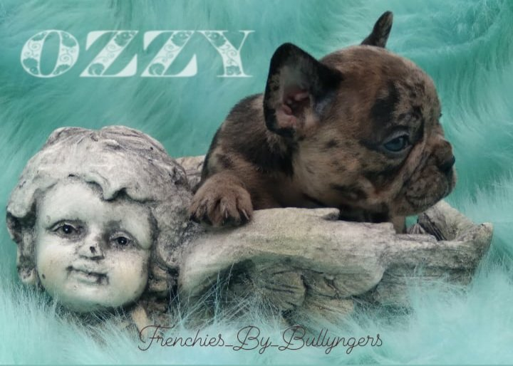 OZZY - DBR French Bulldog male doggie for sale at Camden, North Carolina