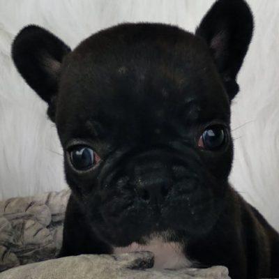 Apple - pupper DBR French Bulldog male for sale near Camden, North Carolina
