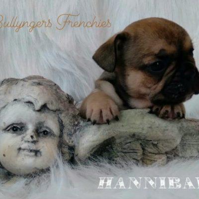 Hannibal - DBR French Bulldog male puppie for sale in Camden, North Carolina
