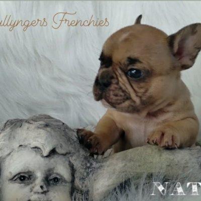 Nato - DBR French Bulldog male puppy for sale at Camden, North Carolina
