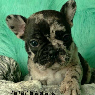 Teddy - DBR French Bulldog male pup for sale at Camden, North Carolina