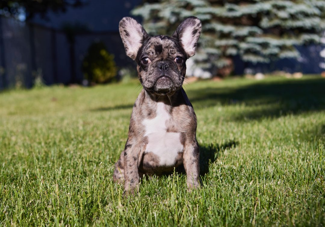 David - pupper French Bulldog male for sale near Wood Dale, Illinois