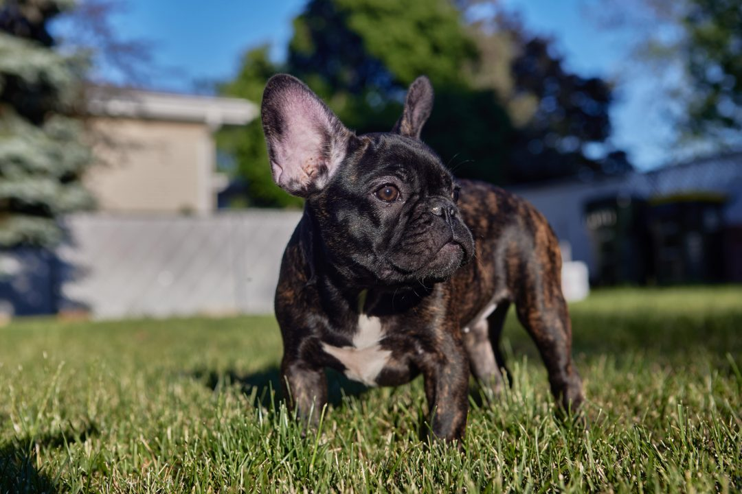 Diva - French Bulldog female puppy for sale in Wood Dale, Illinois