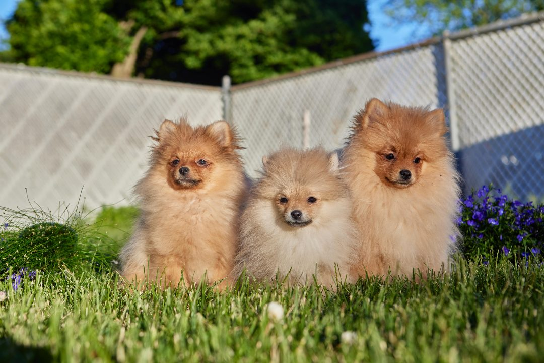 Ban - puppy FCI Pomeranian male for sale in Wood Dale, Illinois
