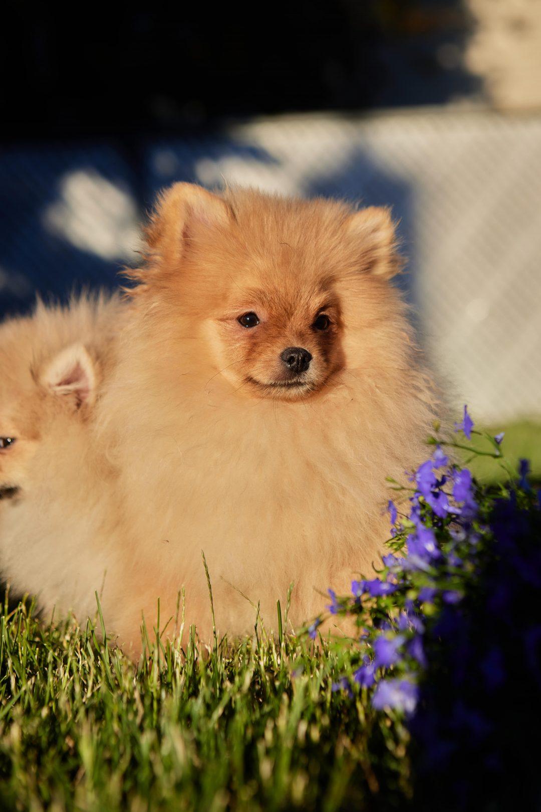 Ban - Pomeranian male doggie for sale near Wood Dale, Illinois