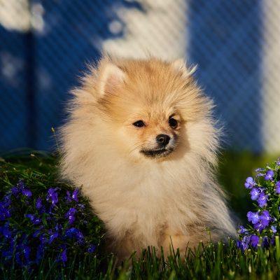Boni - FCI Pomeranian female puppie for sale at Wood Dale, Illinois