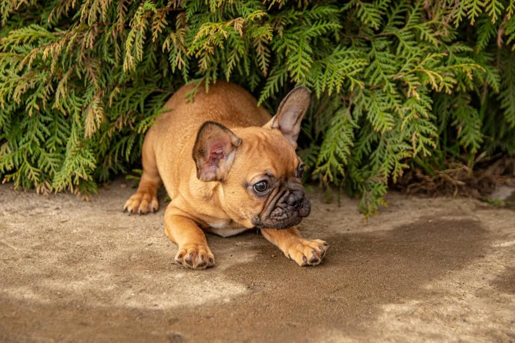 Dimon - French Bulldog male pup for sale at Wood Dale, Illinois